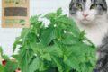 GREENCAT™   100% NATURAL CATNIP FOR CATS